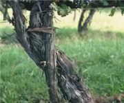 Photo of Cardinal Point Vineyard and Winery - Afton, VA