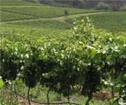 Photo of Crescent Mountain Vineyards - Travelers Rest, SC